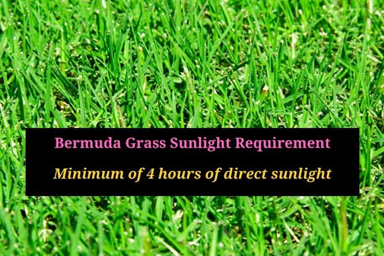 Bermuda grass in shade - how much light does Bermuda grass require