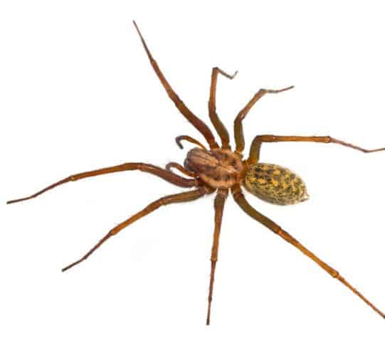 Hobo spider can also be found in a lawn