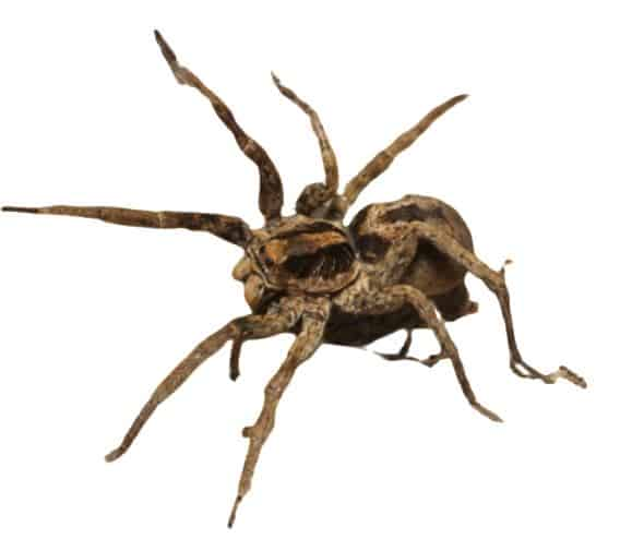 Wolf spider hunts in lawns a lot.