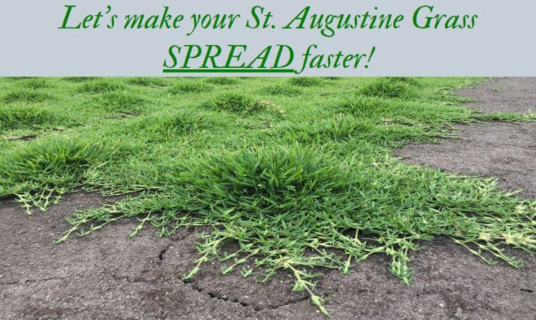 How to make st augustine grass spread quickly - thicker