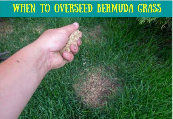 When to overseed Bermuda grass lawns