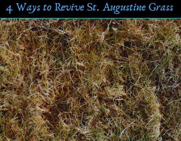 How to revive st augustine grass and bring it back from dead