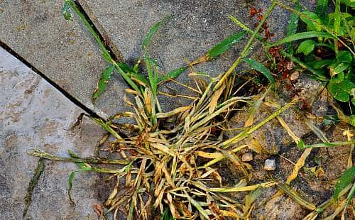 Vinegar kills crabgrass without chemicals-naturally