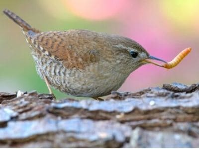 House wrens will control grubs naturally.