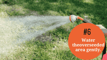 Water the overseeded area without aerating