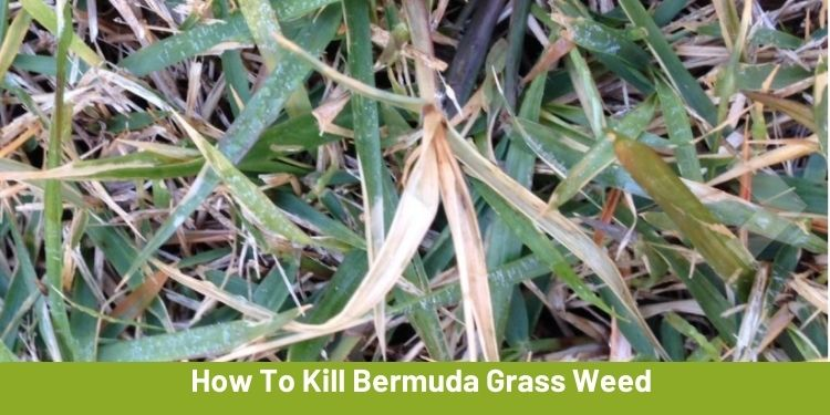 How To Kill Bermuda Grass Weed