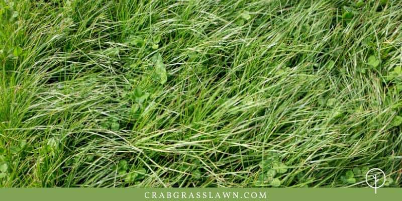 annual ryegrass features