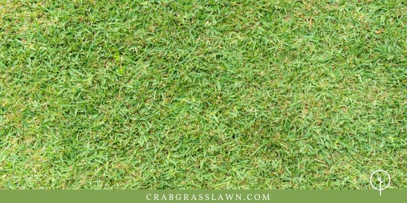 does st. augustine grass spread
