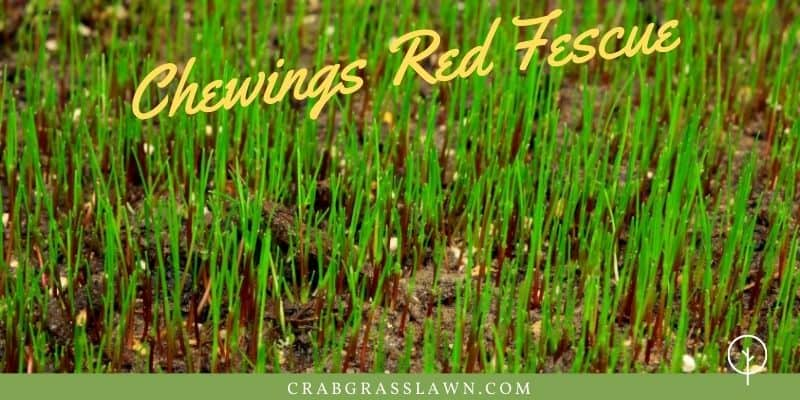 chewings red fescue winter grass