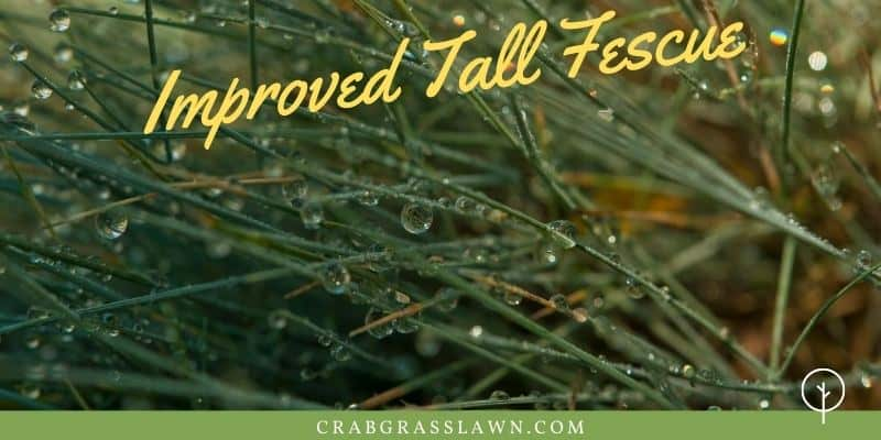 improved tall fescue winter grass