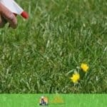 can i use a pre-emergent to kill existing weeds?