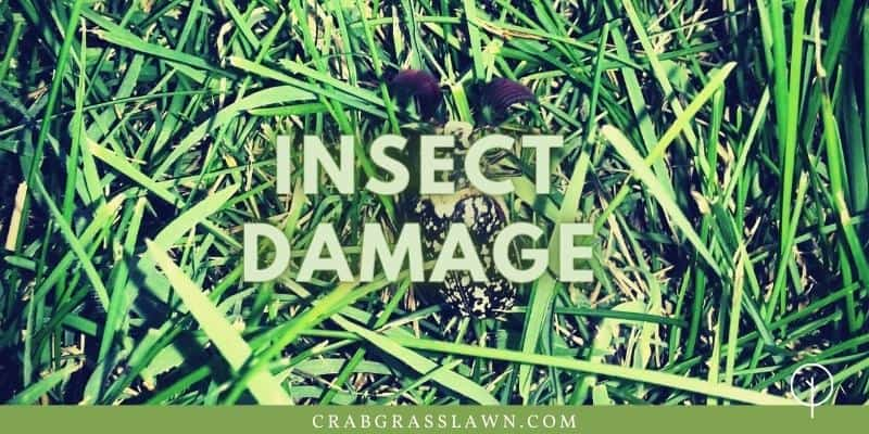 insect damage on st. augustine grass