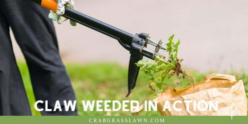 use a claw weeder to pull up crabgrass