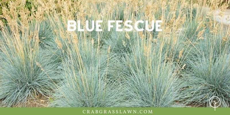 weeds that look like grass - blue fescue