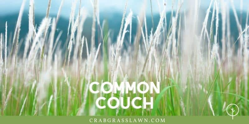 weeds that look like grass - common couch grass