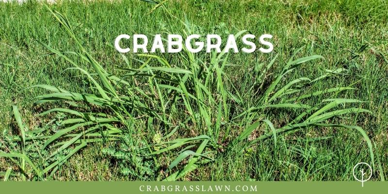 weeds that look like grass - crabgrass