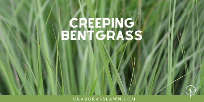 Creeping Bentgrass - weeds that look like grass