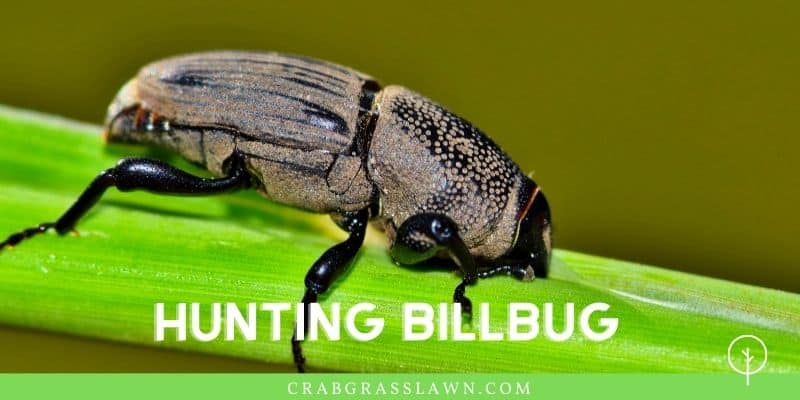 what does a hunting billbug look like