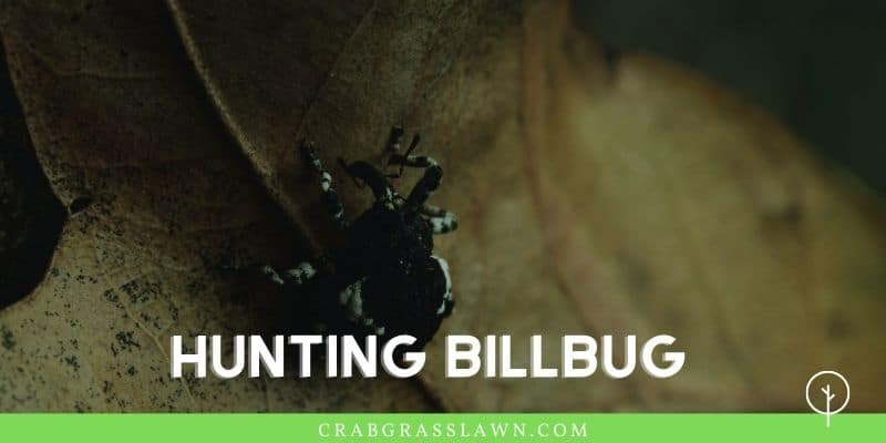what does a hunting billbug look like1