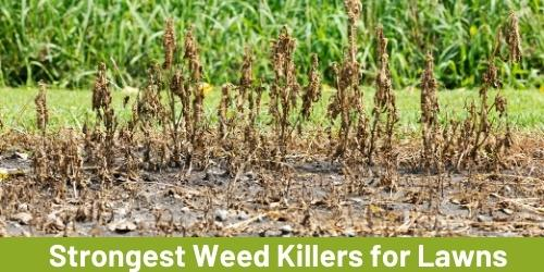 strongest-weed-killers-for-lawns