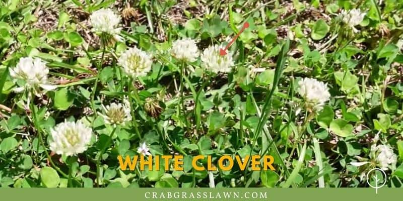 White Clover weed look like
