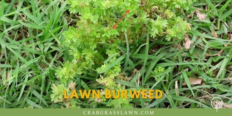 what does lawn burweed look like?
