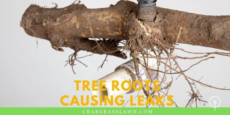 tree roots causing leaks