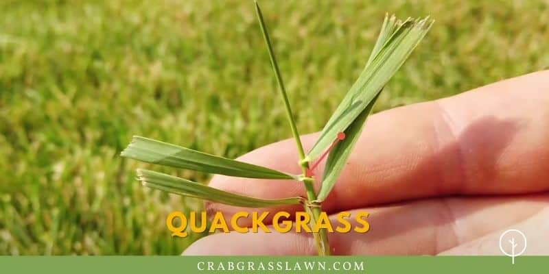 what does quackgrass look like?